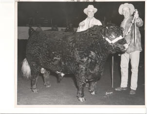 Great Grandpa Bennett at the Pacific International Stockshow at Portland with Hillsdale Caesar, a polled shorthorn bull that was Grand Champion bull in 1962. This bull was never defeated as a yearling or a two year old while being shown.
