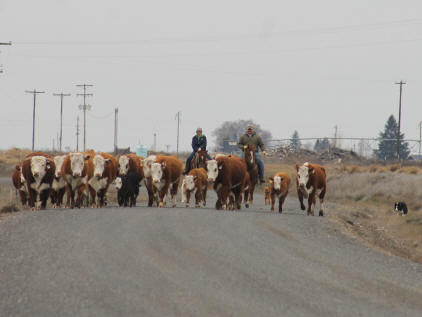 Moving%20Herefords10