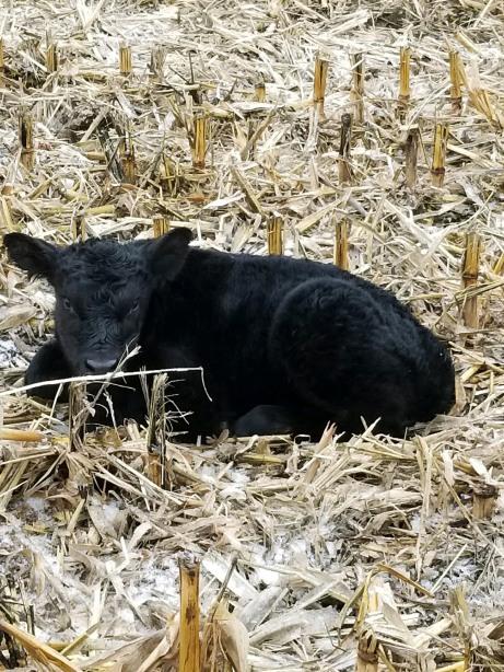 Kade's Calf