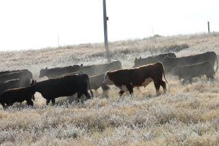 Moving cows May 2018