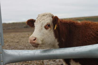 cow jan 2019