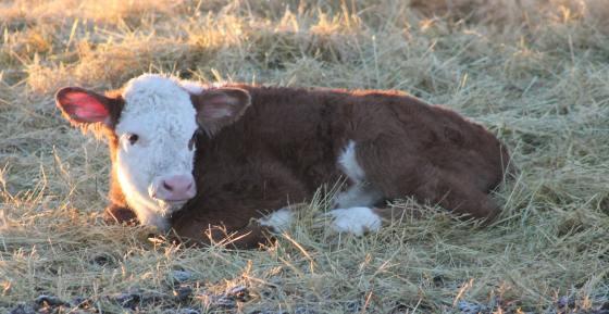 hereford calf jan 2019
