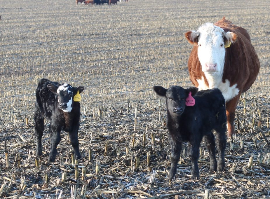 jaxsen calf jan 2019