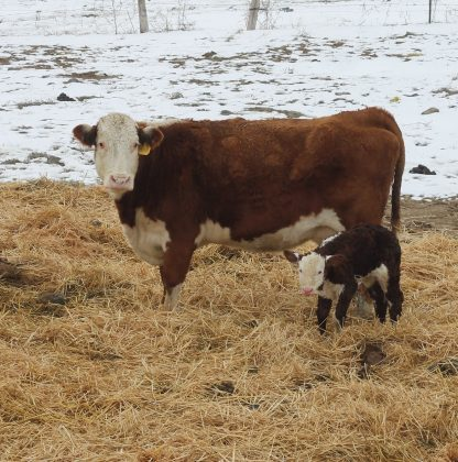 0041B and calf Feb 2019