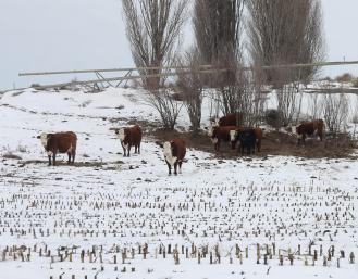 Cows corn stalks Feb 2019