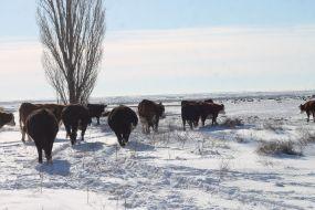 Cows Feb 2019