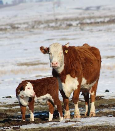 0041B with calf March 2019