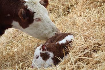 New calf March 2019