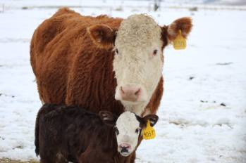 Sally and calf March 2019