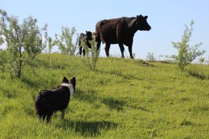 Moving cows May 2019