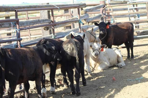 Calves tied up June 2019
