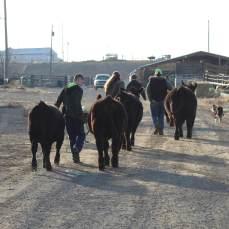 calf walk Nov 2019