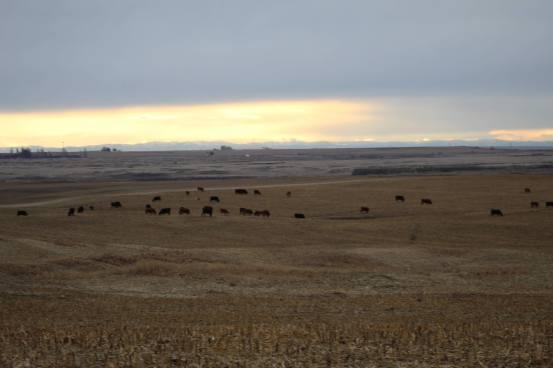 Cows Jan 2020