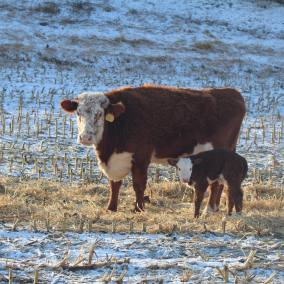 Cutey and bull calf Jan 2020