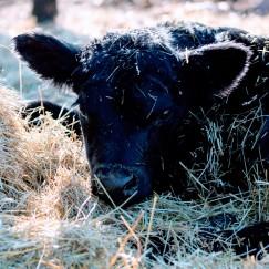 Annas calf Feb 2020