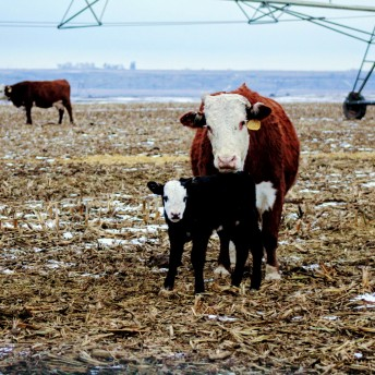 Braford heifer Feb 2020