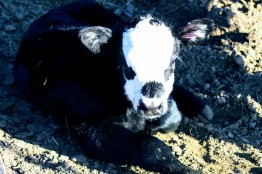 bw bull calf Feb 2020