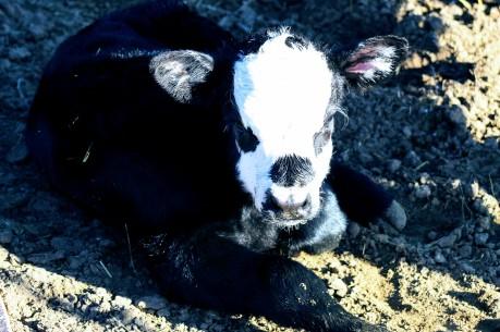 bw bull calf Feb 2020
