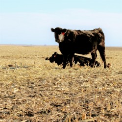 Cow Feb 2020