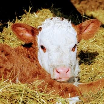 Hereford bull calf Feb 2020- other one