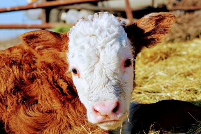 Hereford bull calf Feb 2020