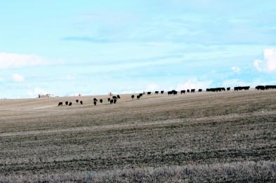 Mastre moving cows Feb 2020