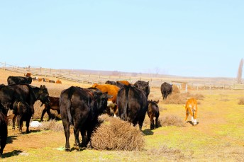 Moving cows Feb 2020