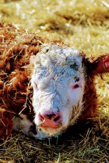 new bull calf Feb 2020- hereford