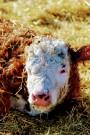 new bull calf Feb 2020- hereford