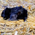 new calf Jan 2020