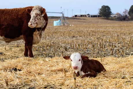 RC and bull calf Feb 2020