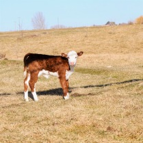 508T Calf March 2020