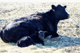 533angus pair March 2020