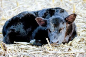 727 calf Feb 2020