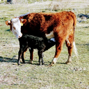 805T with calf March 2020