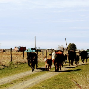AI cows going out March 2020