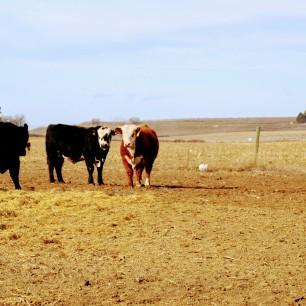 Braford and Hereford bulls Feb 2020