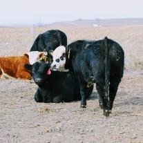 Braford bull Feb 2020