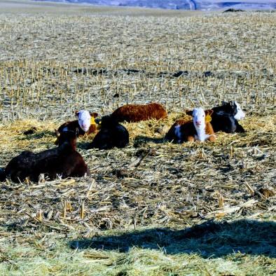 Calves Feb 2020