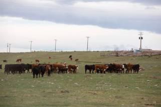 CowsMar2020-8