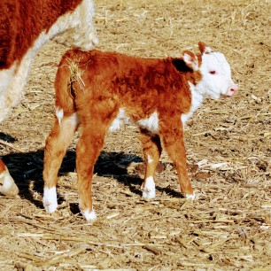 Sally calf Feb 2020