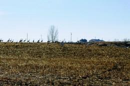 Sandhill Cranes Feb 2020-1