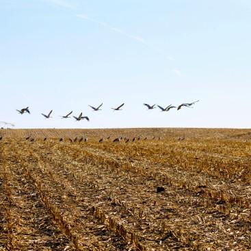 Sandhill Cranes Feb 2020-2