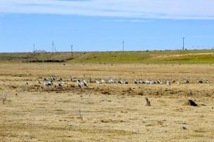Sandhill Cranes Feb 2020