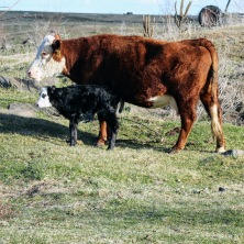 Ugly with calf March 2020
