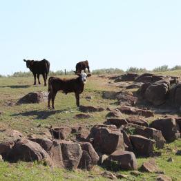 Braford heifer April 2020