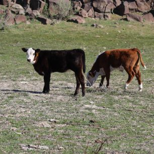 BW heifer April 2020