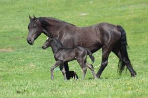 Fresian and foal April 2020-3