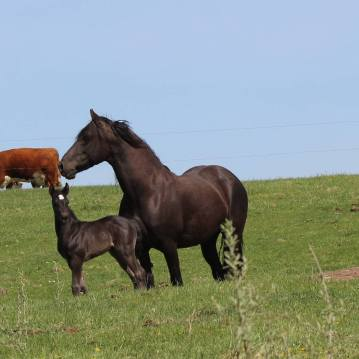 Fresian and foal April 2020-5