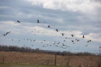 Sandhill Cranes Apr 2020